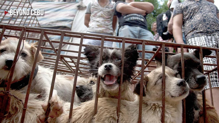 How did China's Dog Meat Festival Yulin start